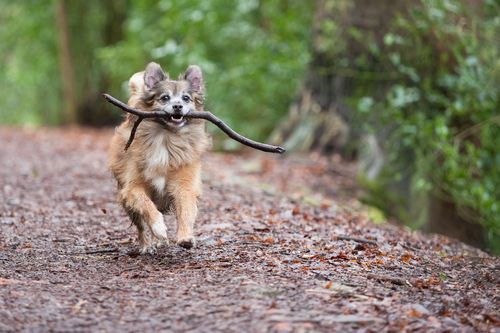 dog running with a stick in his mouth