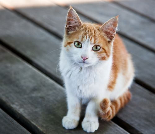 a cat with white and brown shades