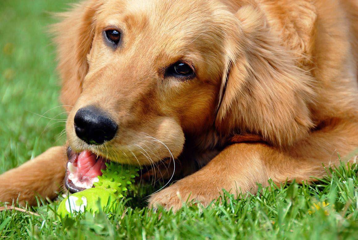 a happy golden retriever chewing on a green dental kong
