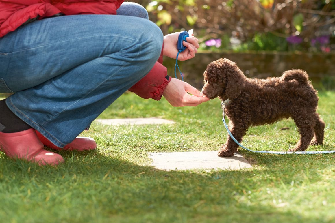 a poodle puppy receiving a treat during clicker training with its owner in their backyard