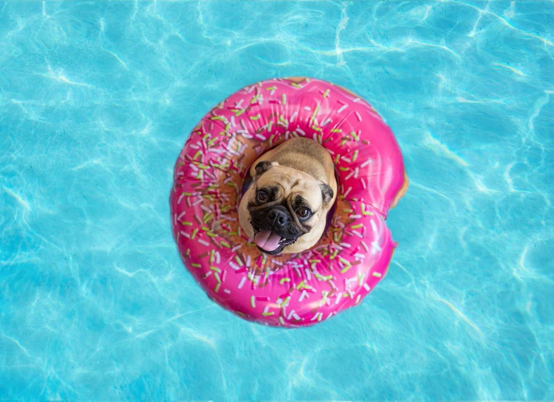 an overweight senior pug swimming happily in a pool